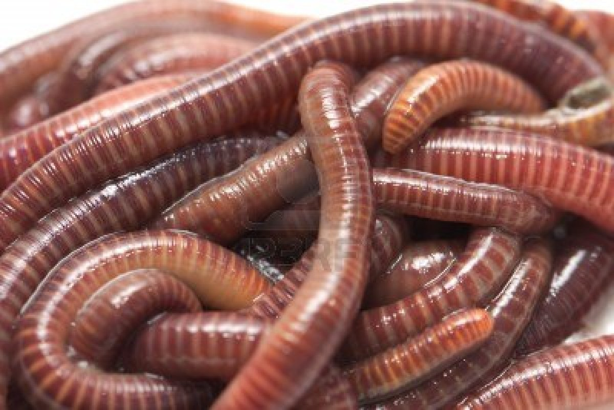 earthworms - photo #16