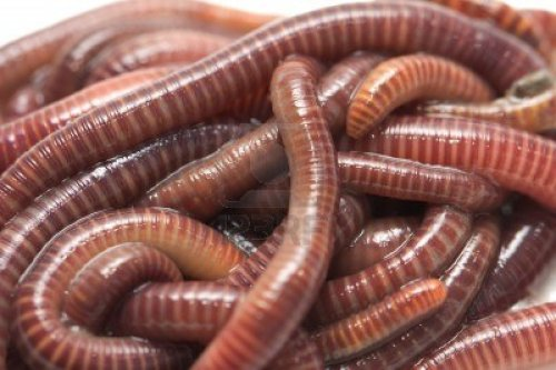 16617175-earthworms-macro
